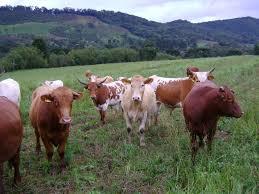 A carne bovina catarinense, ainda sejam bastante reduzidas, têm apresentado ritmo de crescimento bastante significativo Fotos Divulgação/Cidasc