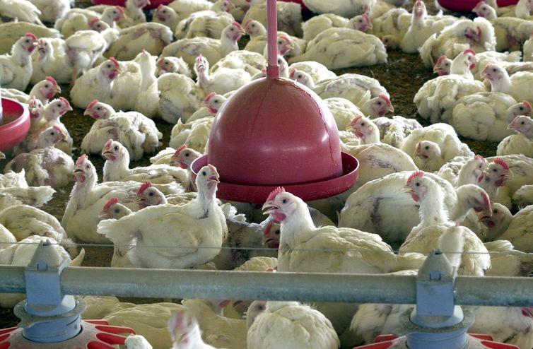 Salmonella foi encontrada em carnes de aves de capoeira | Foto Arquivo/Agência Brasil