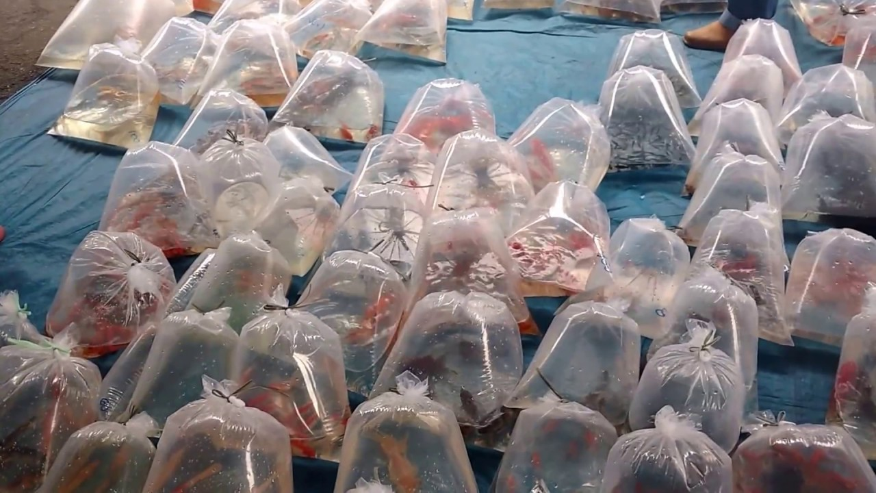 Distribuição de animais em feiras agora é crime em Joinville | Fotos Redes Sociais
