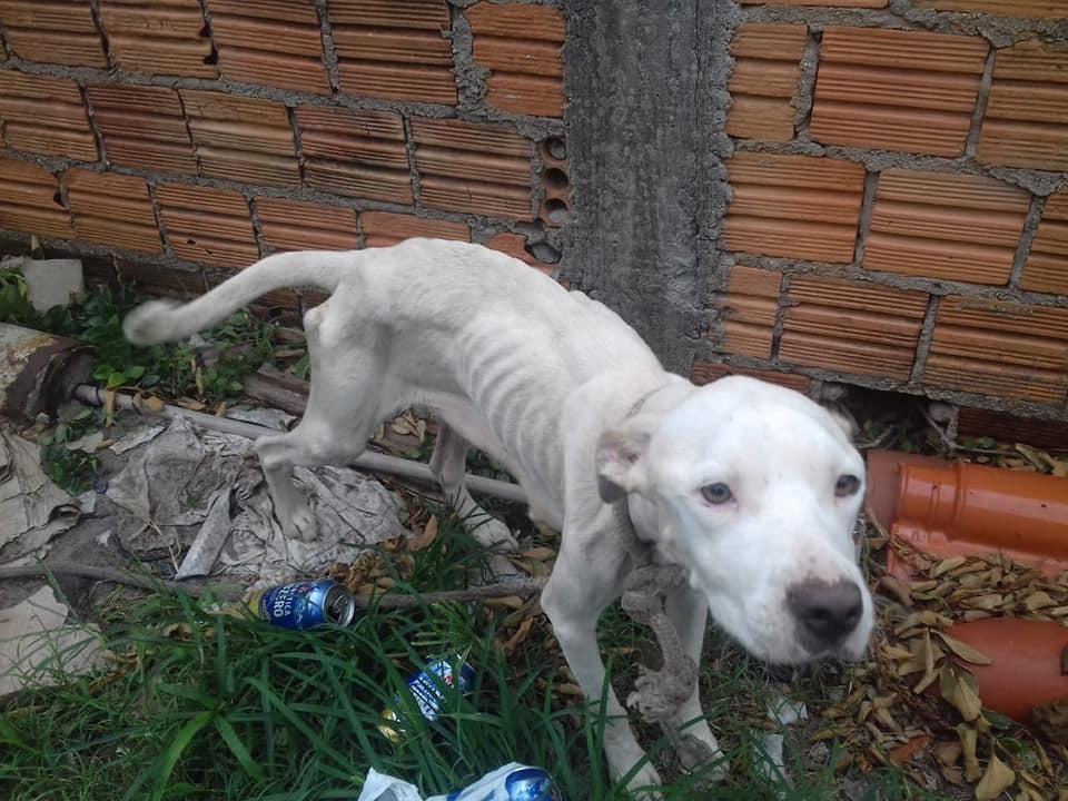 Cadela vivia acorrentada e corria risco de morte, devido à falta de alimentação   Foto PMF/Divulgação