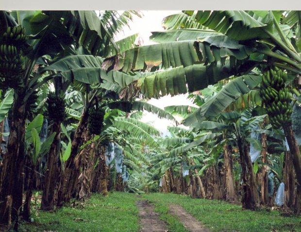 Banana produzida na região de Corupá é considerada a mais doce do Brasil | Foto Divulgação